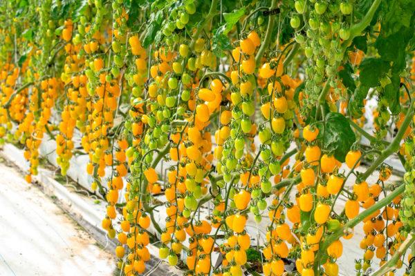 enza-zaden-house-fair-italy-santy-yellow-5